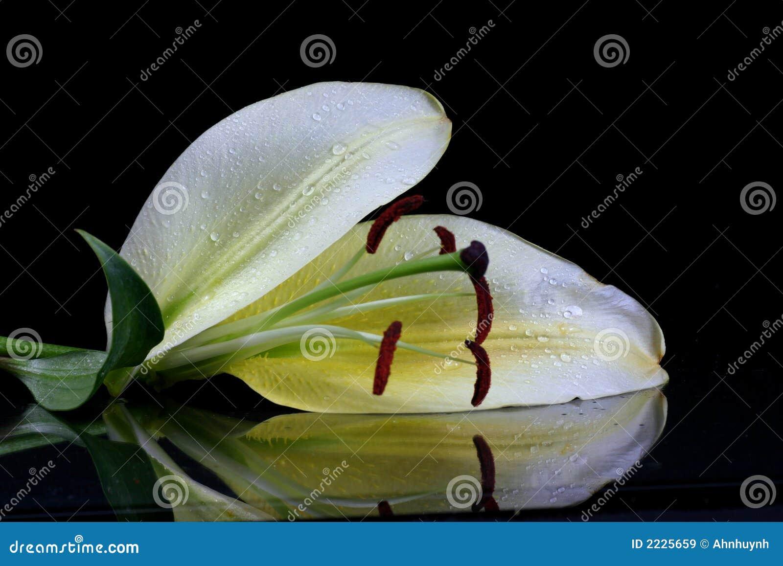 όμορφο λουλούδι Πάσχας lilly