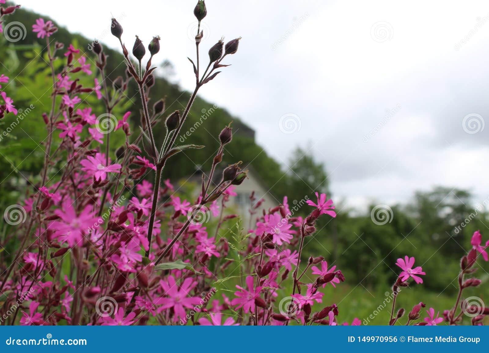 Όμορφο λουλούδι, σκανδιναβικά, παρουσίαση