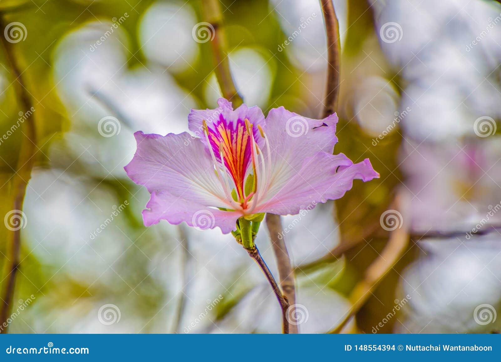 Όμορφο λουλούδι στο δέντρο, επιστημονικό όνομα: Το variegata Bauhinia, κλείνει επάνω του πορφυρού λουλουδιού στο θολωμένο υπόβαθρ