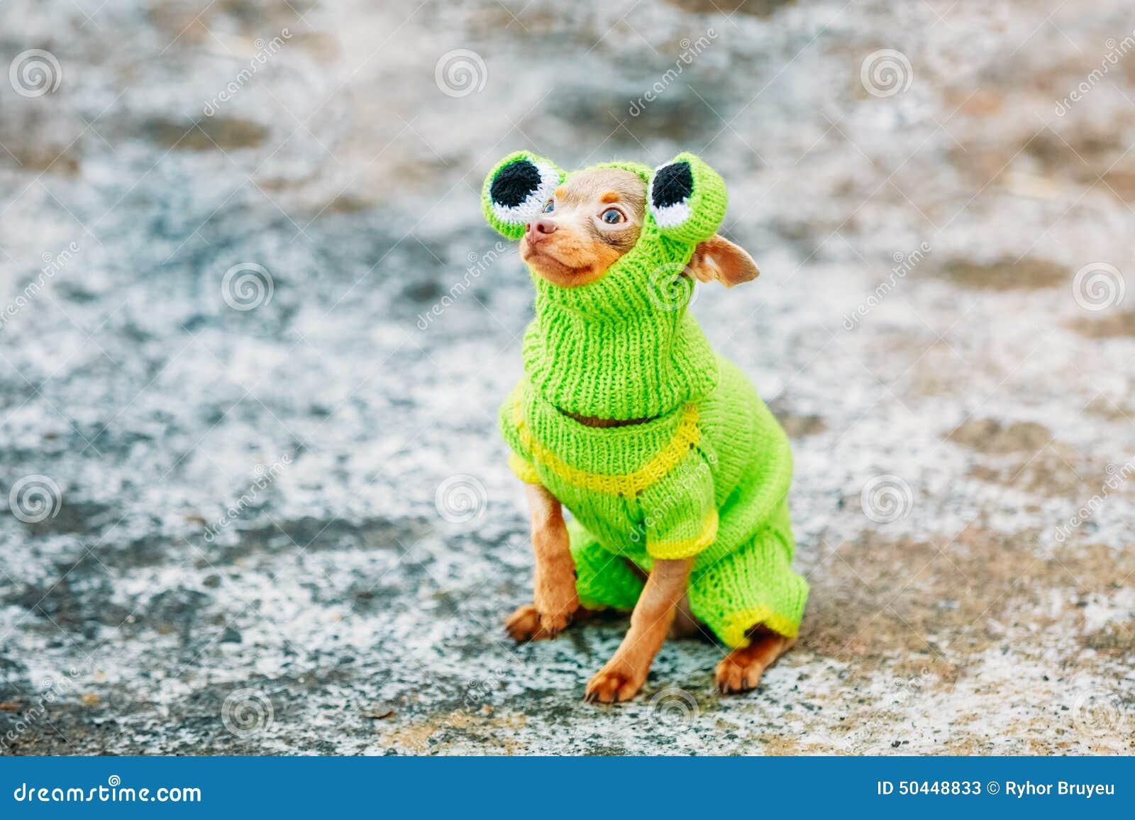 Όμορφο μικροσκοπικό σκυλί Chihuahua που ντύνεται επάνω στο βάτραχο
