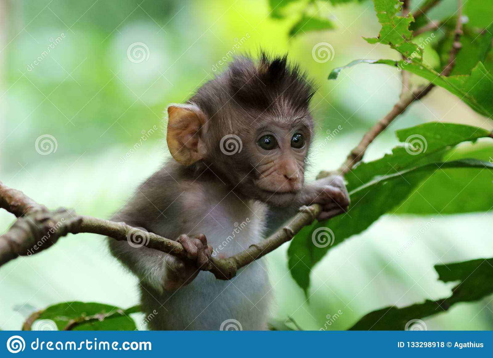 Όμορφο μοναδικό πορτρέτο του πιθήκου μωρών στο δάσος πιθήκων στο Μπαλί Ινδονησία, όμορφο άγριο ζώο