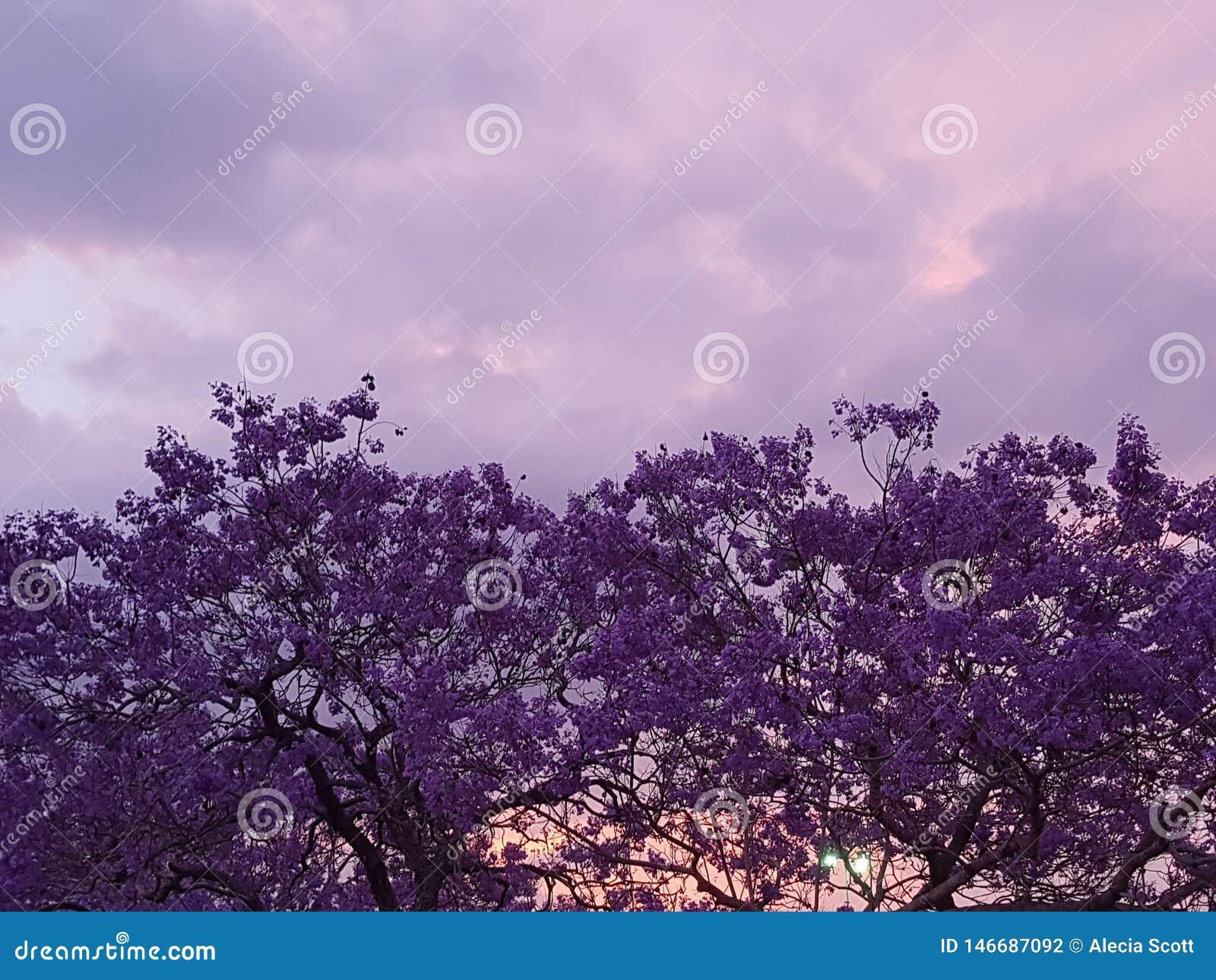 Όμορφο πορφυρό δέντρο Jacaranda στο ηλιοβασίλεμα