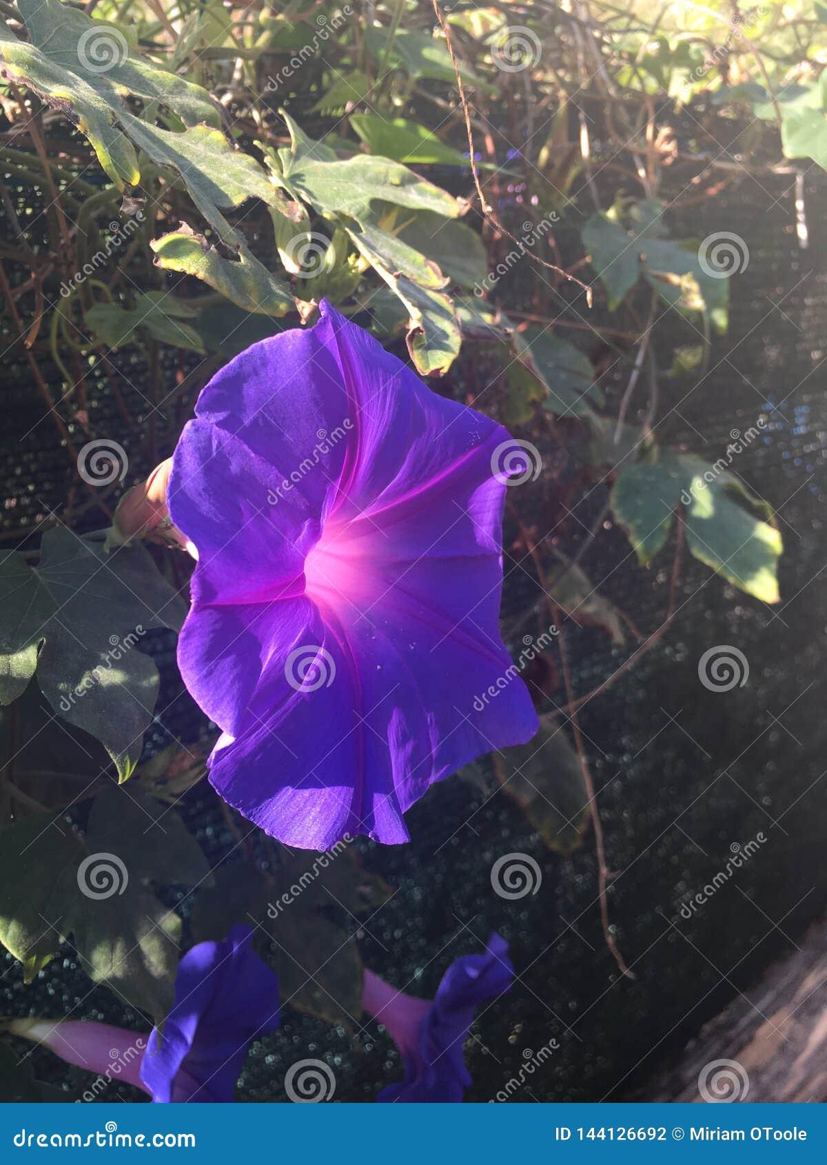 Όμορφο πορφυρό λουλούδι δόξας πρωινού cinque terre