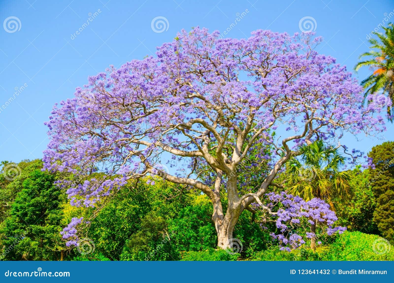 Όμορφο πορφυρό λουλούδι Jacaranda που ανθίζει σε μια εποχή άνοιξης στο βοτανικό κήπο του Σίδνεϊ