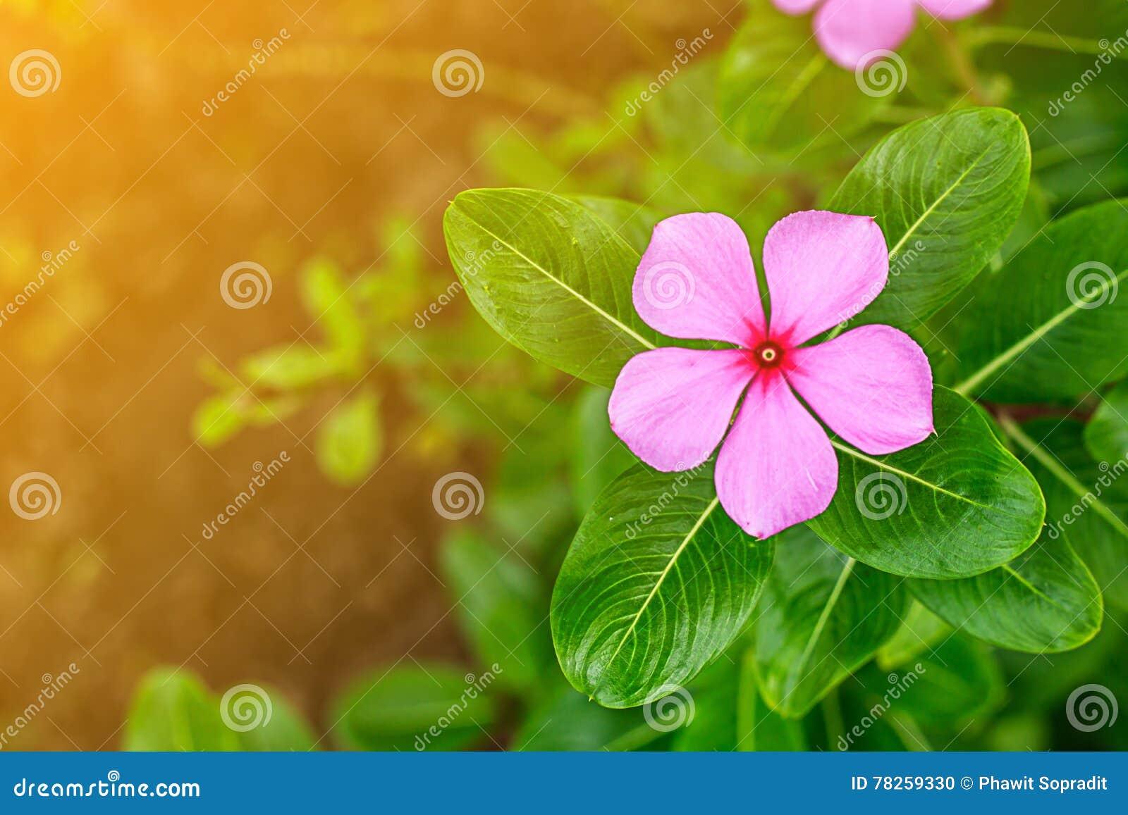 Όμορφο πορφυρό λουλούδι στον κήπο