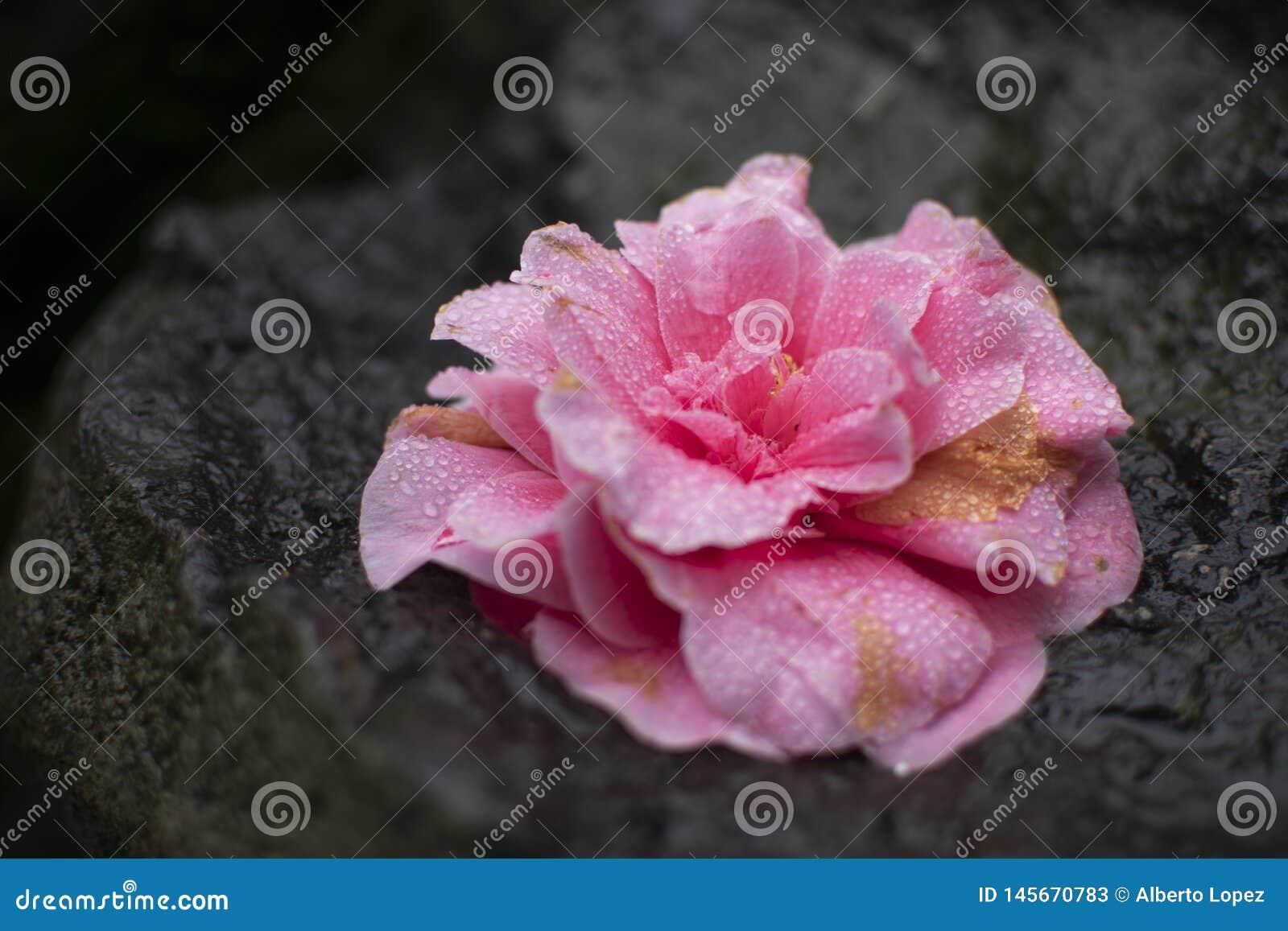 Όμορφο ρόδινο λουλούδι με τις υγρές πτώσεις δροσιάς