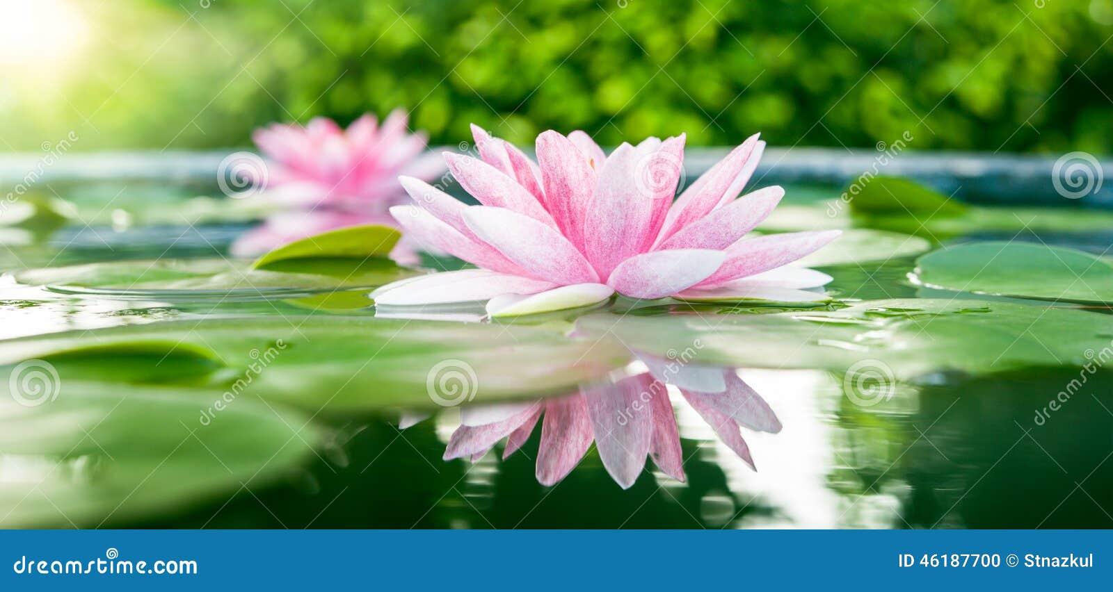 Όμορφο ρόδινο Lotus, εργοστάσιο νερού με την αντανάκλαση σε μια λίμνη