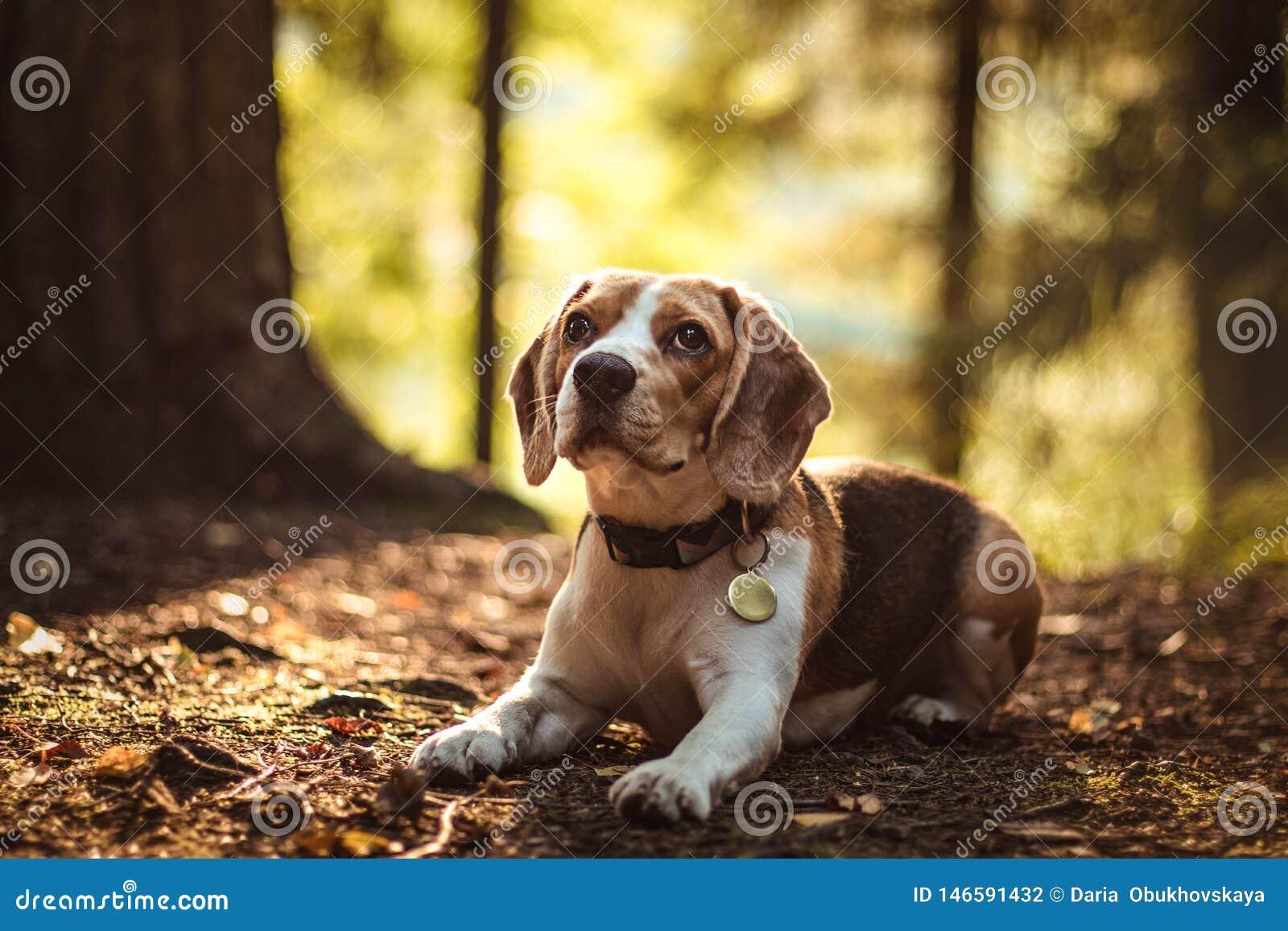 Όμορφο σκυλί κυνηγιού λαγωνικών με το υπόβαθρο με το διάστημα για κάτι