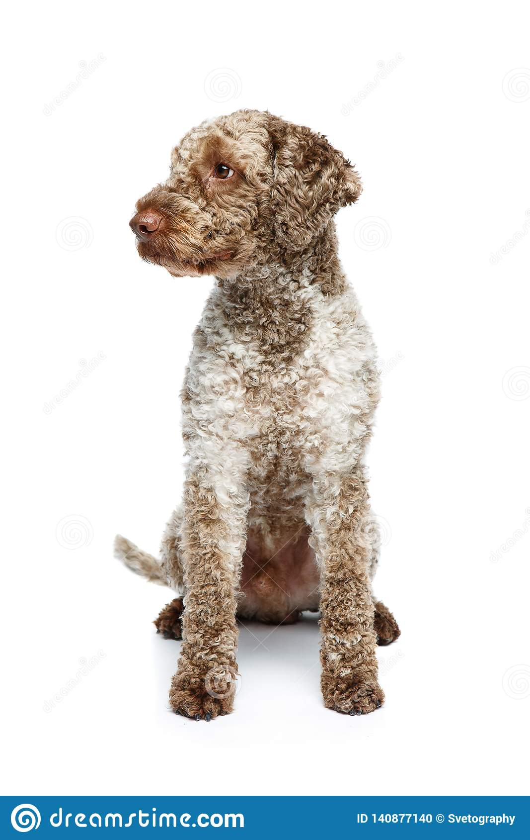 Όμορφο σκυλί romagnolo lagotto στο άσπρο υπόβαθρο