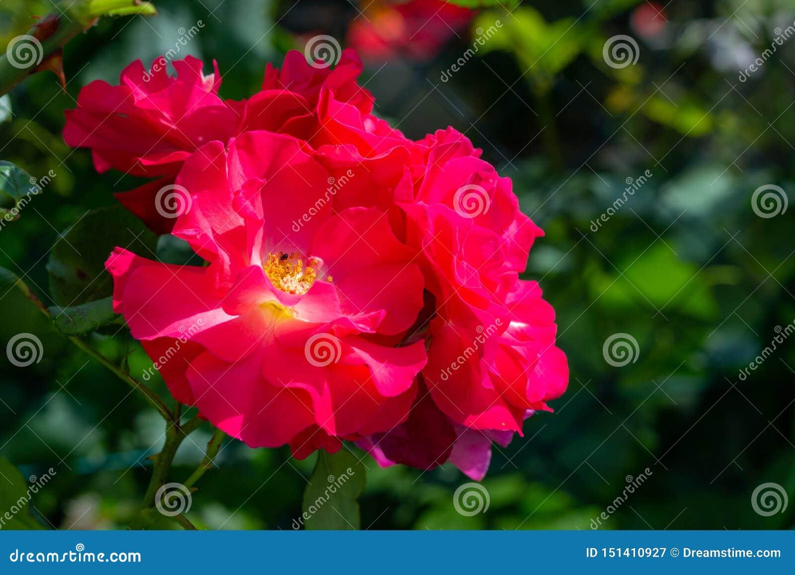 Όμορφο σύνολο ρόδινων τριαντάφυλλων