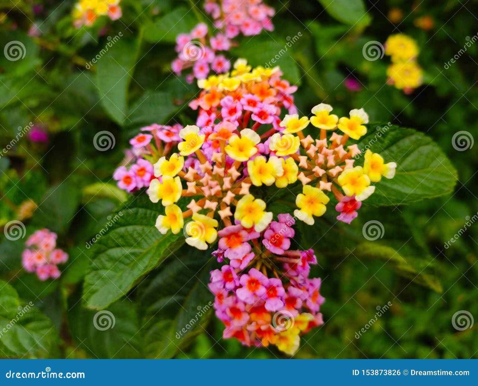 Όμορφο φρέσκο πολυ λουλούδι χρώματος