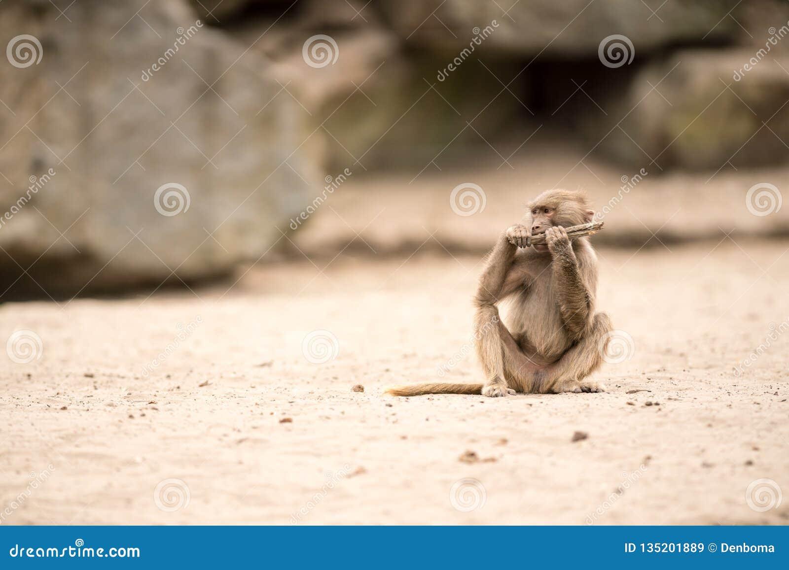 Όμορφο Baboon