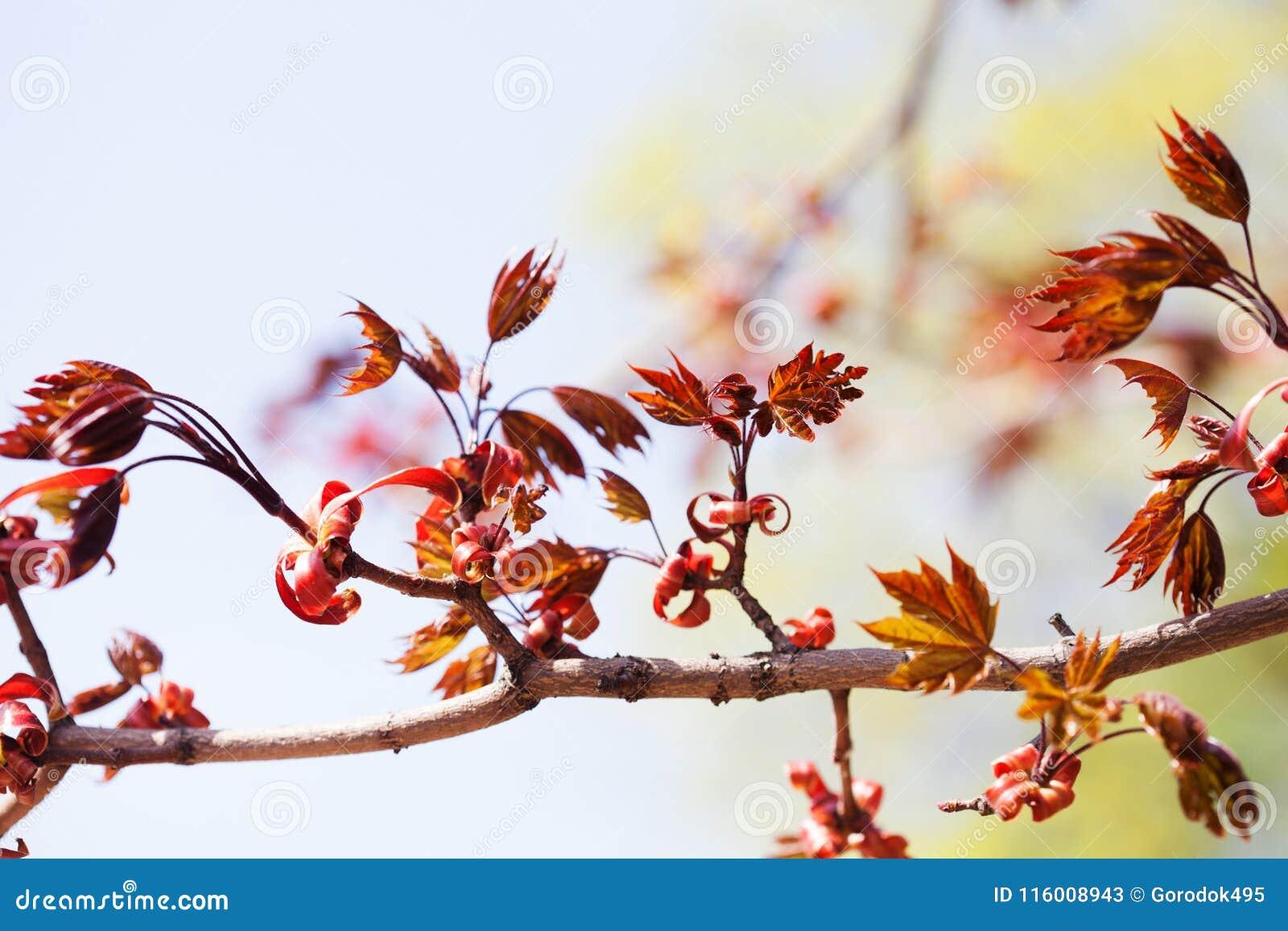 Όμορφο floral χρονικό ζωηρόχρωμο υπόβαθρο άνοιξη Κλάδος δέντρων σφενδάμνου με τα φρέσκα κόκκινα φύλλα μαλακή εστίαση, ρηχό βάθος
