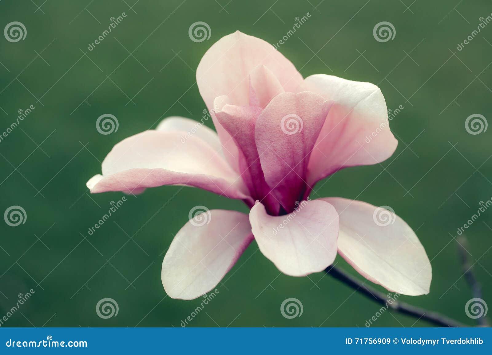 όμορφο magnolia λουλουδιών