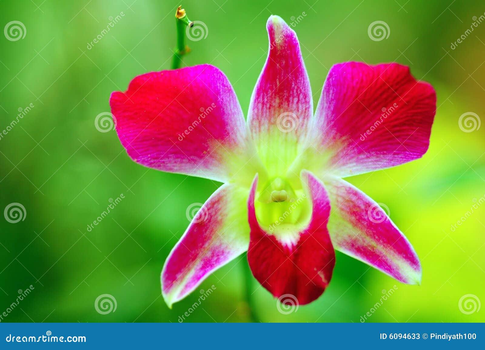 όμορφο orchid