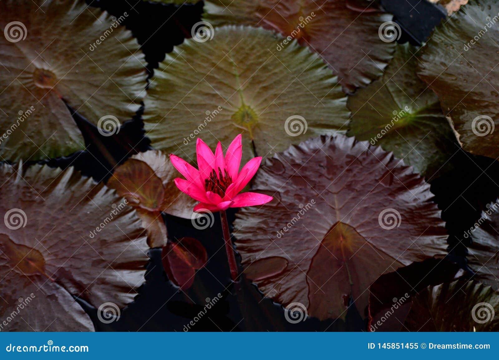 Όμορφο Waterlily στο βοτανικό κήπο