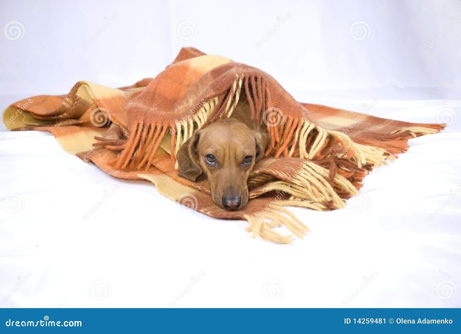 ύπνοι σκυλιών διασταύρωσ&et