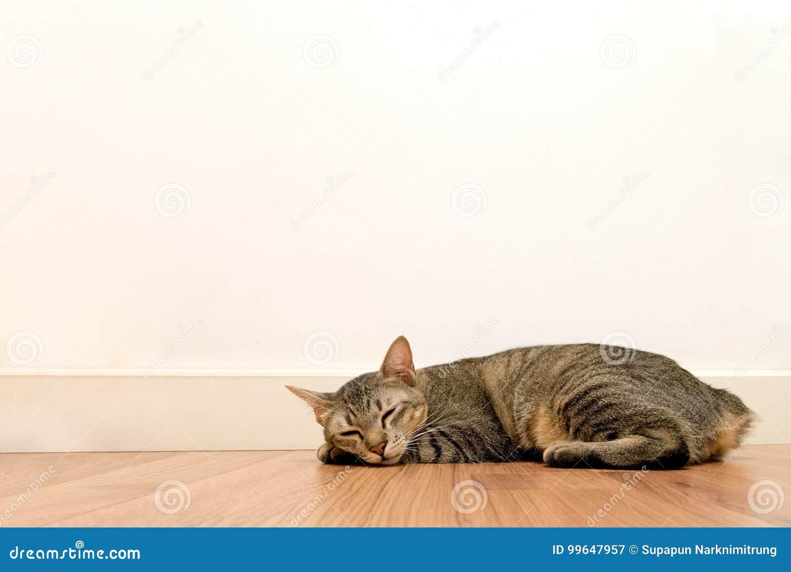 Ύπνος γατών στο ξύλινο πάτωμα με τον άσπρο κενό διαστημικό τοίχο λατρευτές ιδιαίτερες προσοχές υπολοίπου γατών στο σπίτι