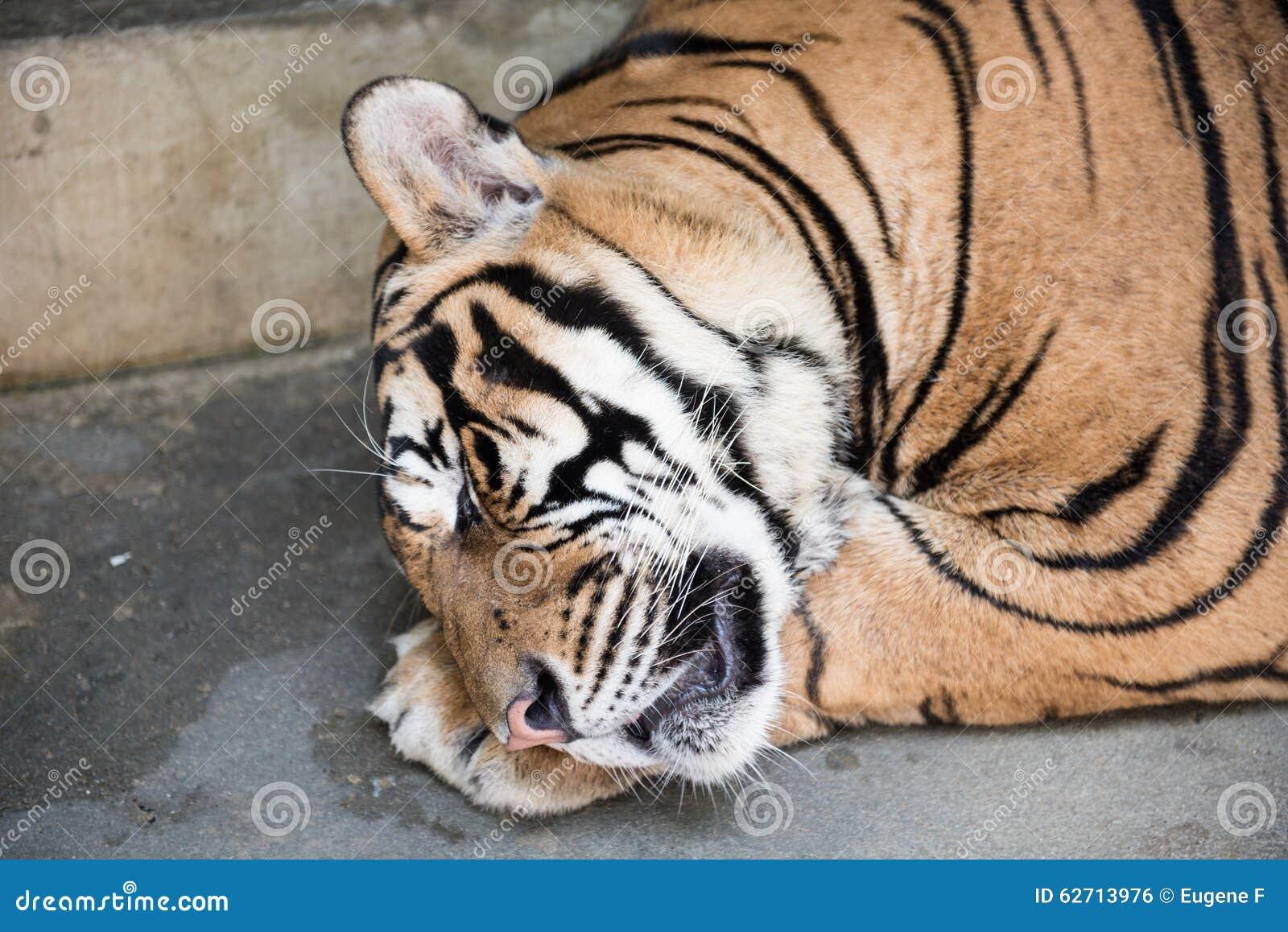Ύπνος τιγρών σε ένα βασίλειο