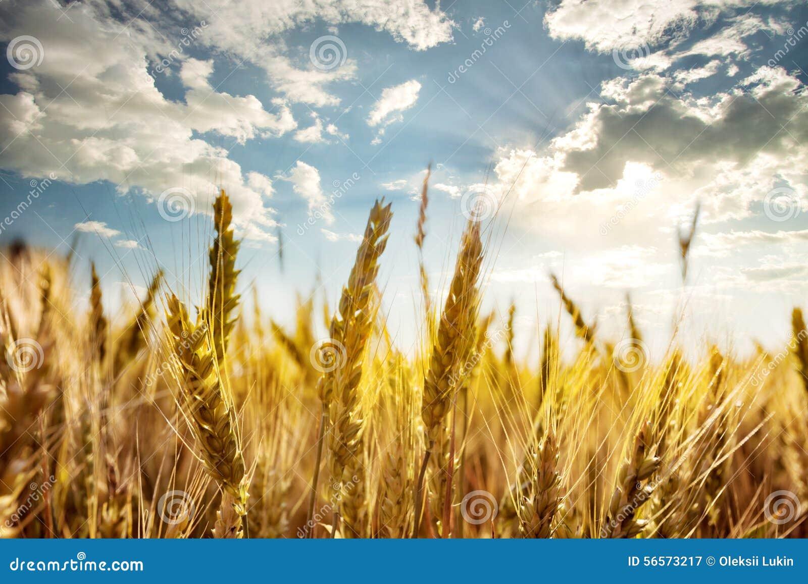 Download Ώριμα αυτιά του σίτου κάτω από το μπλε ουρανό Στοκ Εικόνα - εικόνα από τρόφιμα, φως: 56573217