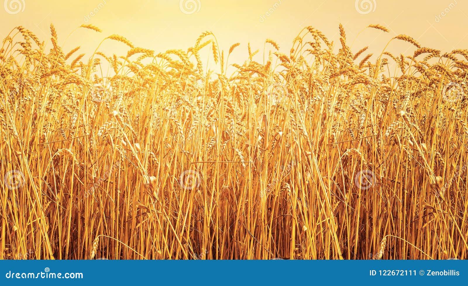 Ώριμα αυτιά του σίτου στον τομέα κατά τη διάρκεια του ηλιοβασιλέματος συγκομιδών Θερινό τοπίο γεωργίας αγροτική σκηνή