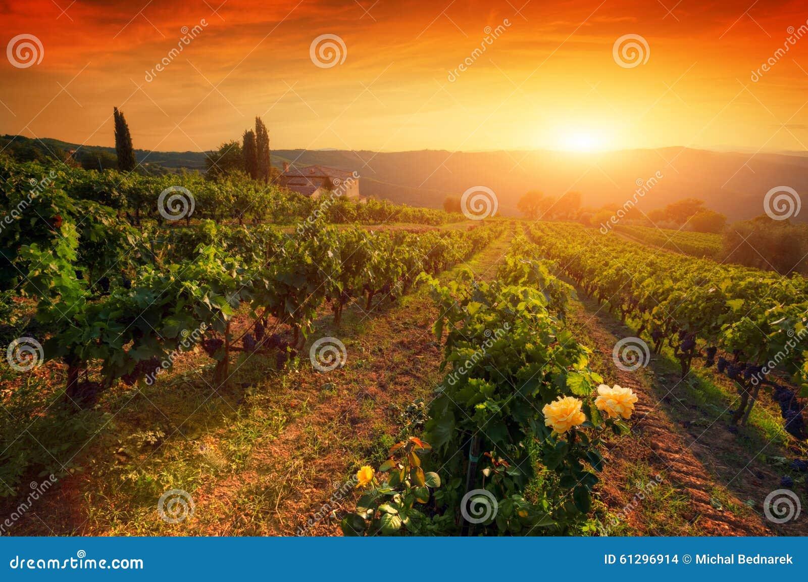 Ώριμα σταφύλια κρασιού στις αμπέλους στην Τοσκάνη, Ιταλία Αγρόκτημα κρασιού, θερμό φως ηλιοβασιλέματος
