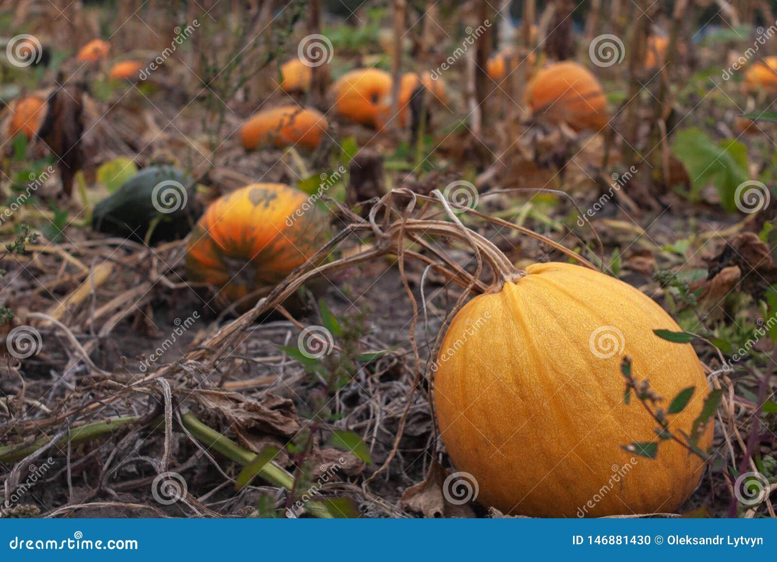 Ώριμες πορτοκαλιές κολοκύθες στον κήπο φθινοπώρου