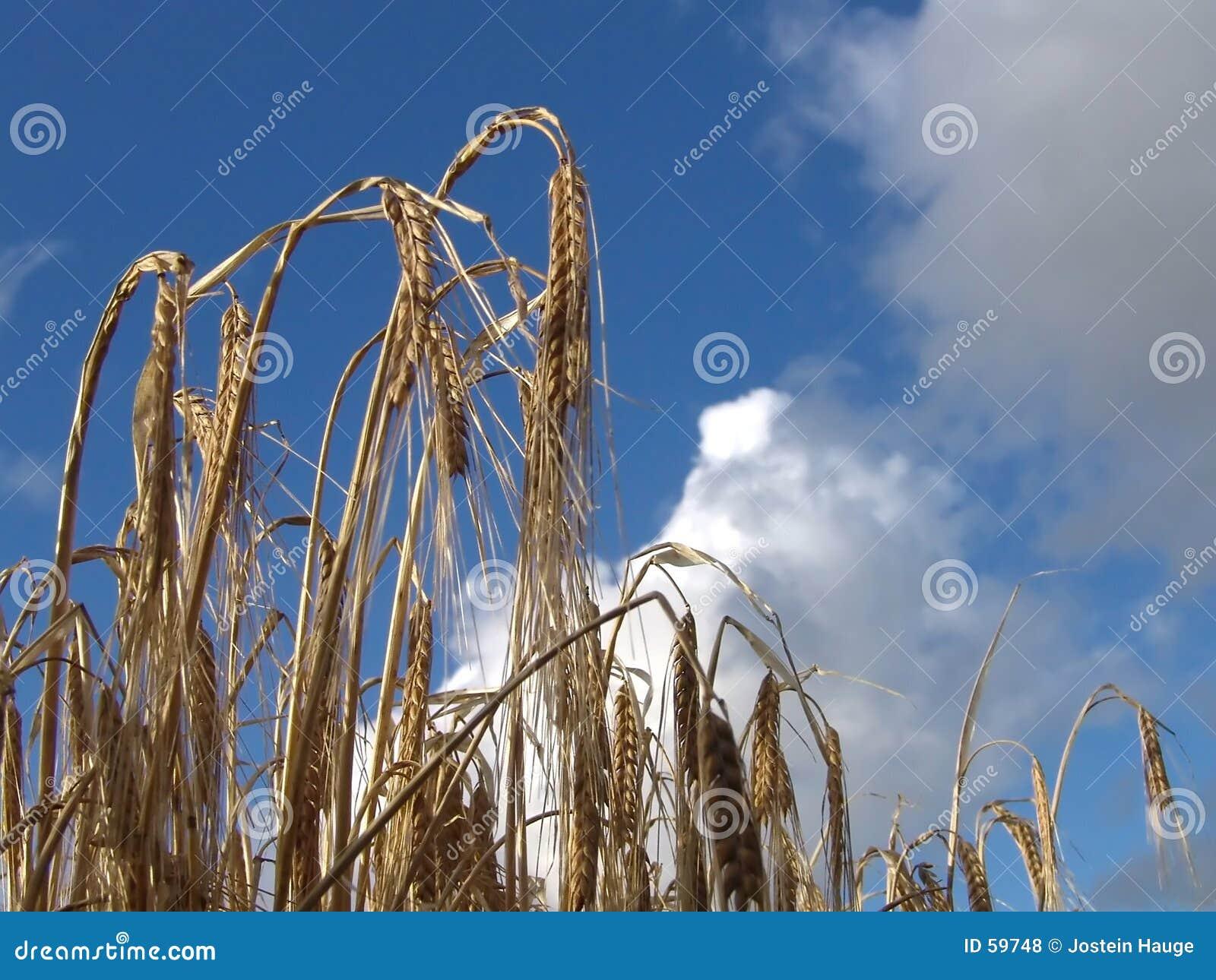 Download ώριμος στοκ εικόνες. εικόνα από φθινοπώρου, ώριμος, φυτά - 59748