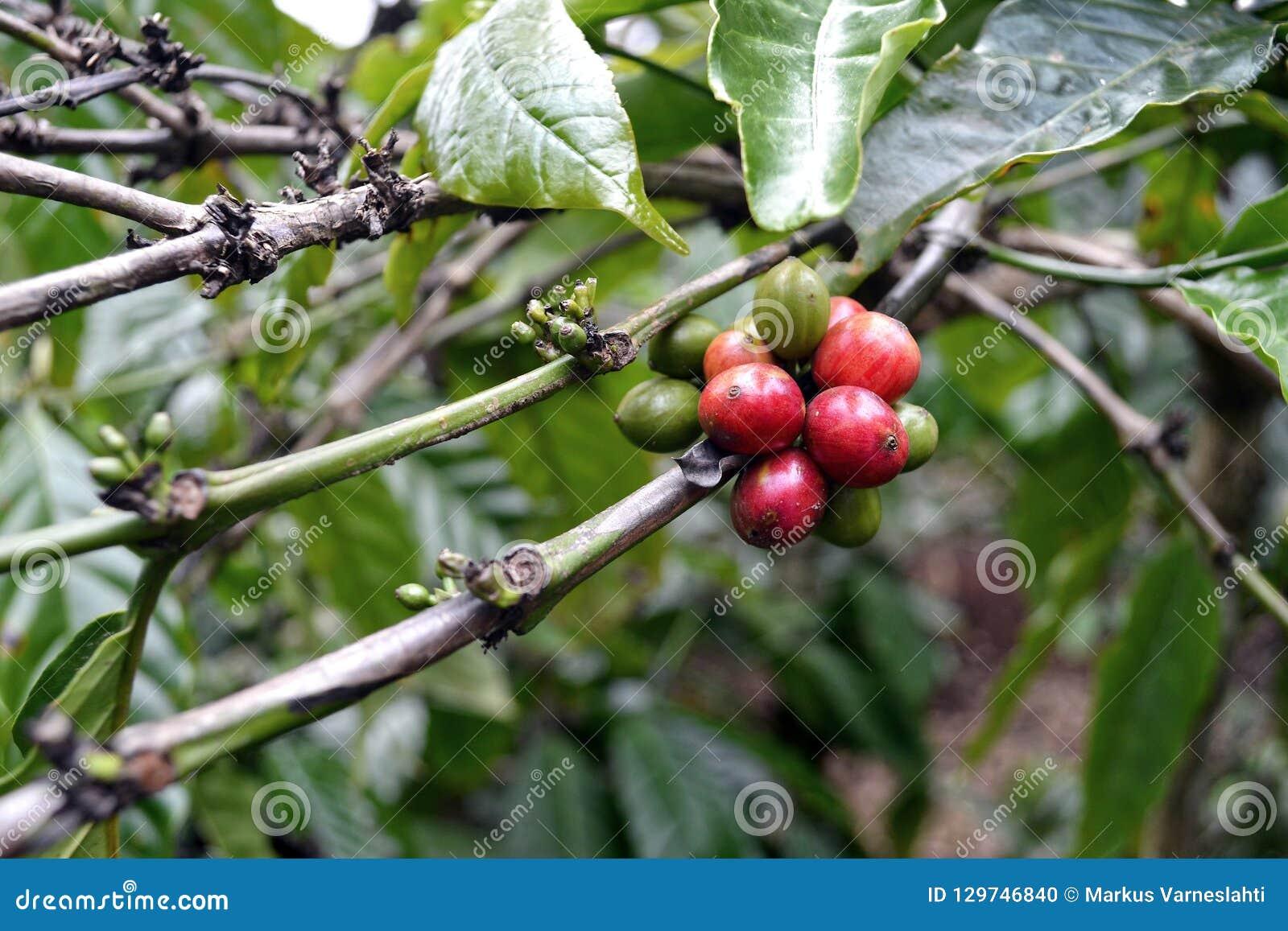Ώριμος robusta σπόρος καφέ