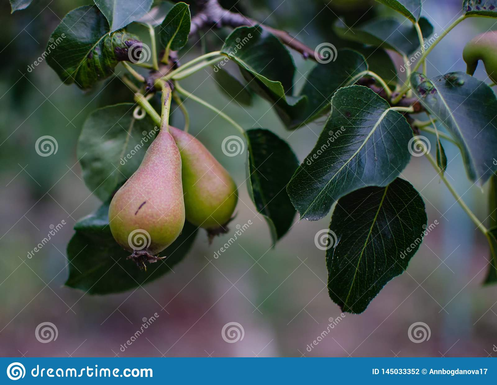 Ώριμο αχλάδι σε έναν κλάδο