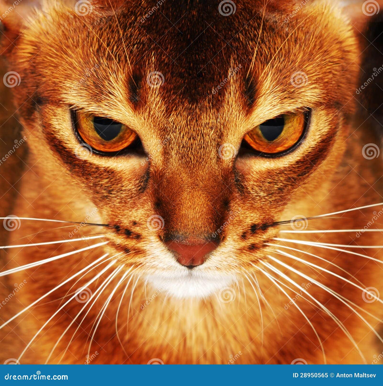 Абиссинский крупный план кота