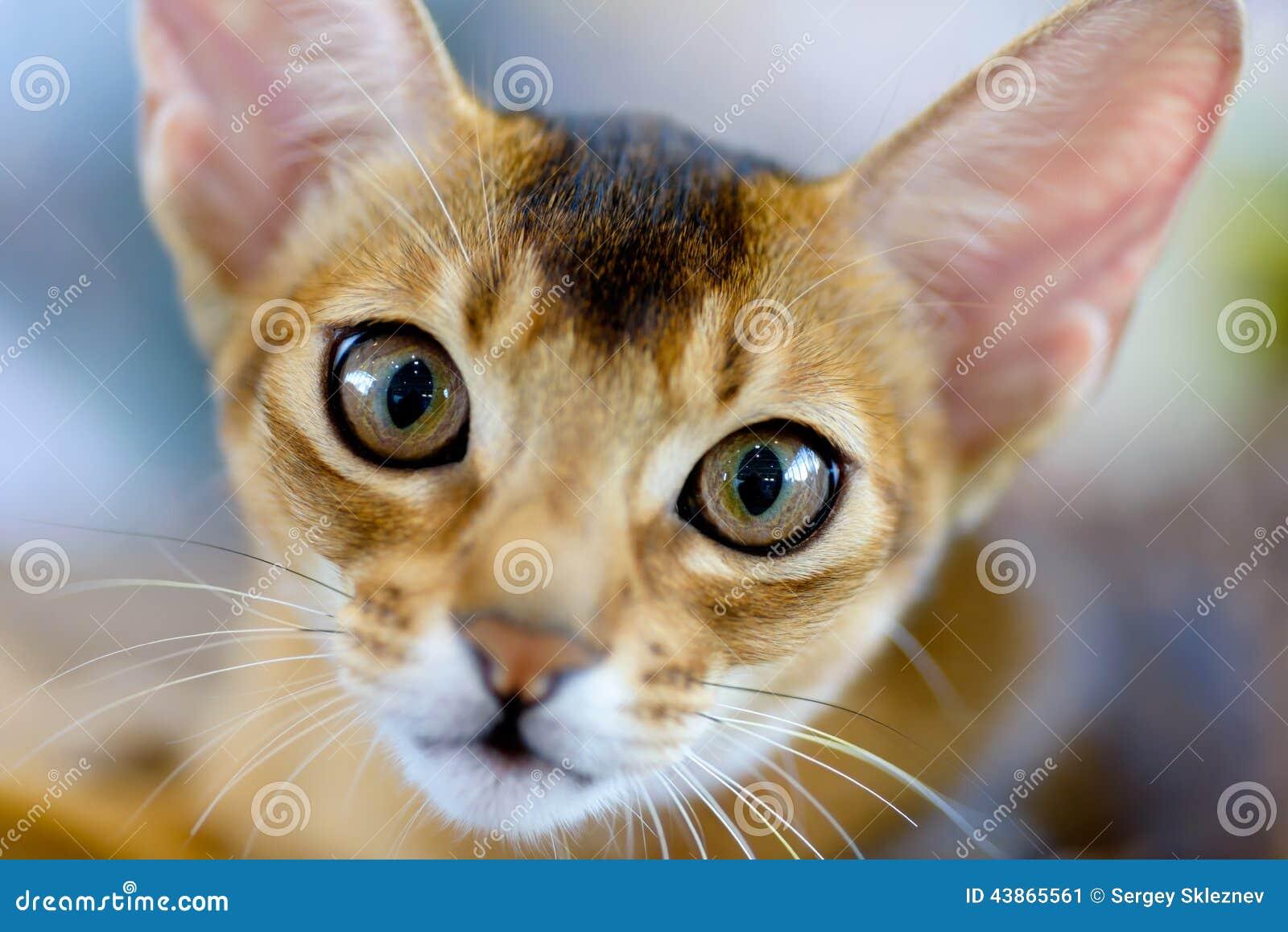 абиссинский портрет кота