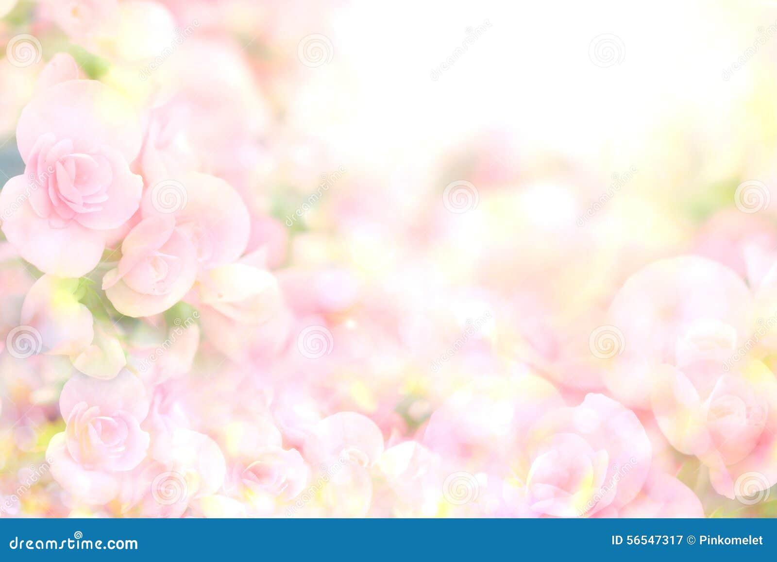 Абстрактная мягкая сладостная розовая предпосылка цветка от бегонии цветет
