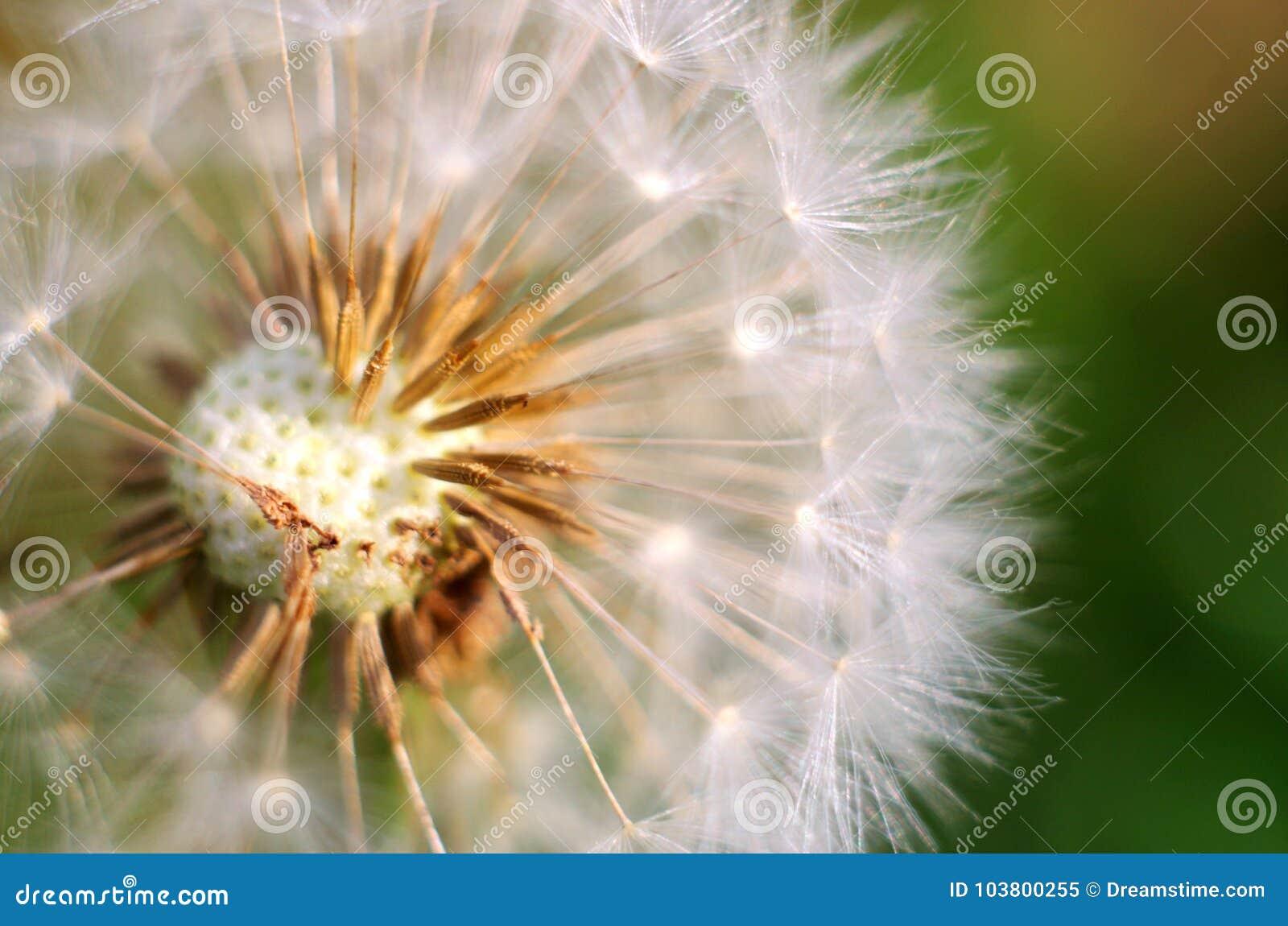 Абстрактная предпосылка цветка одуванчика, крупный план с мягким фокусом