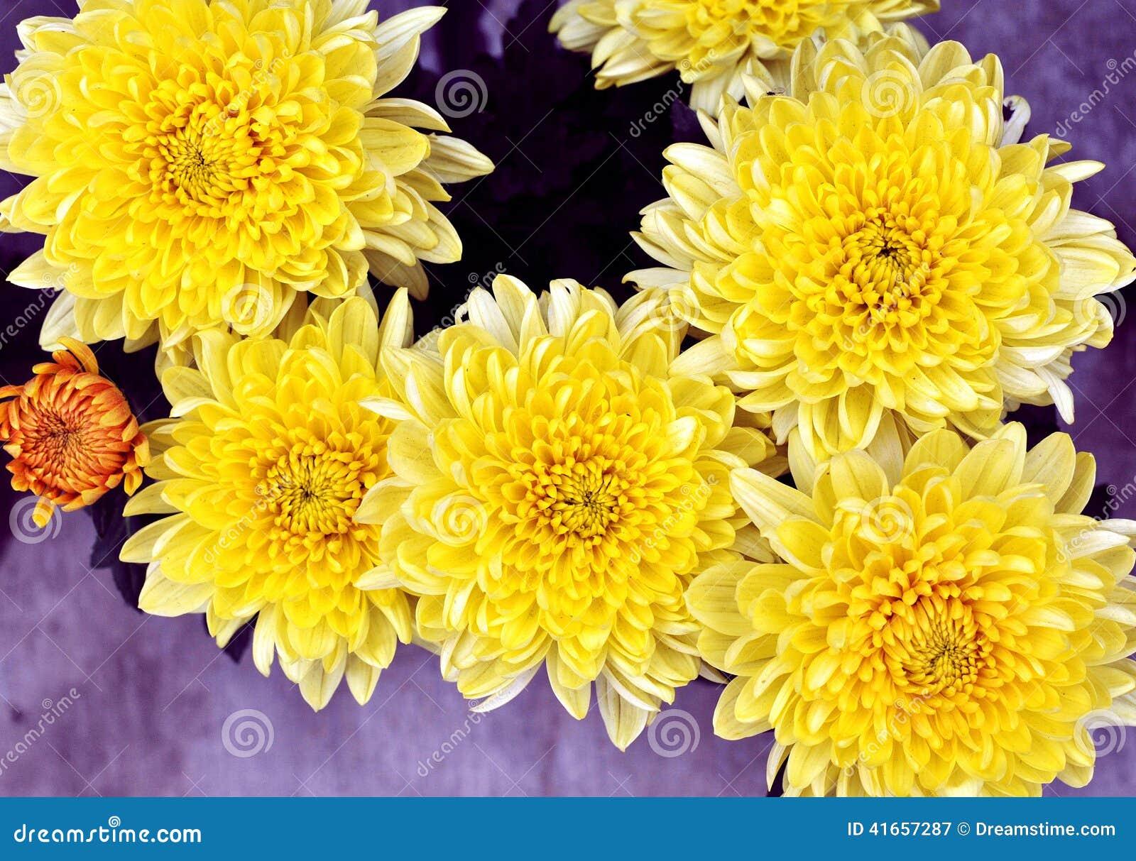 абстрактные цветки цвета хризантемы предпосылки