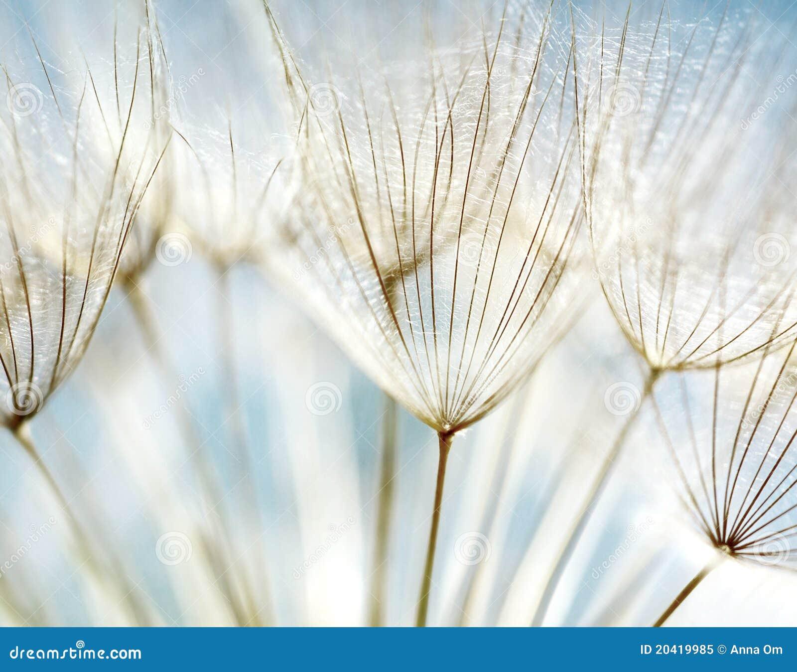 абстрактный цветок одуванчика предпосылки