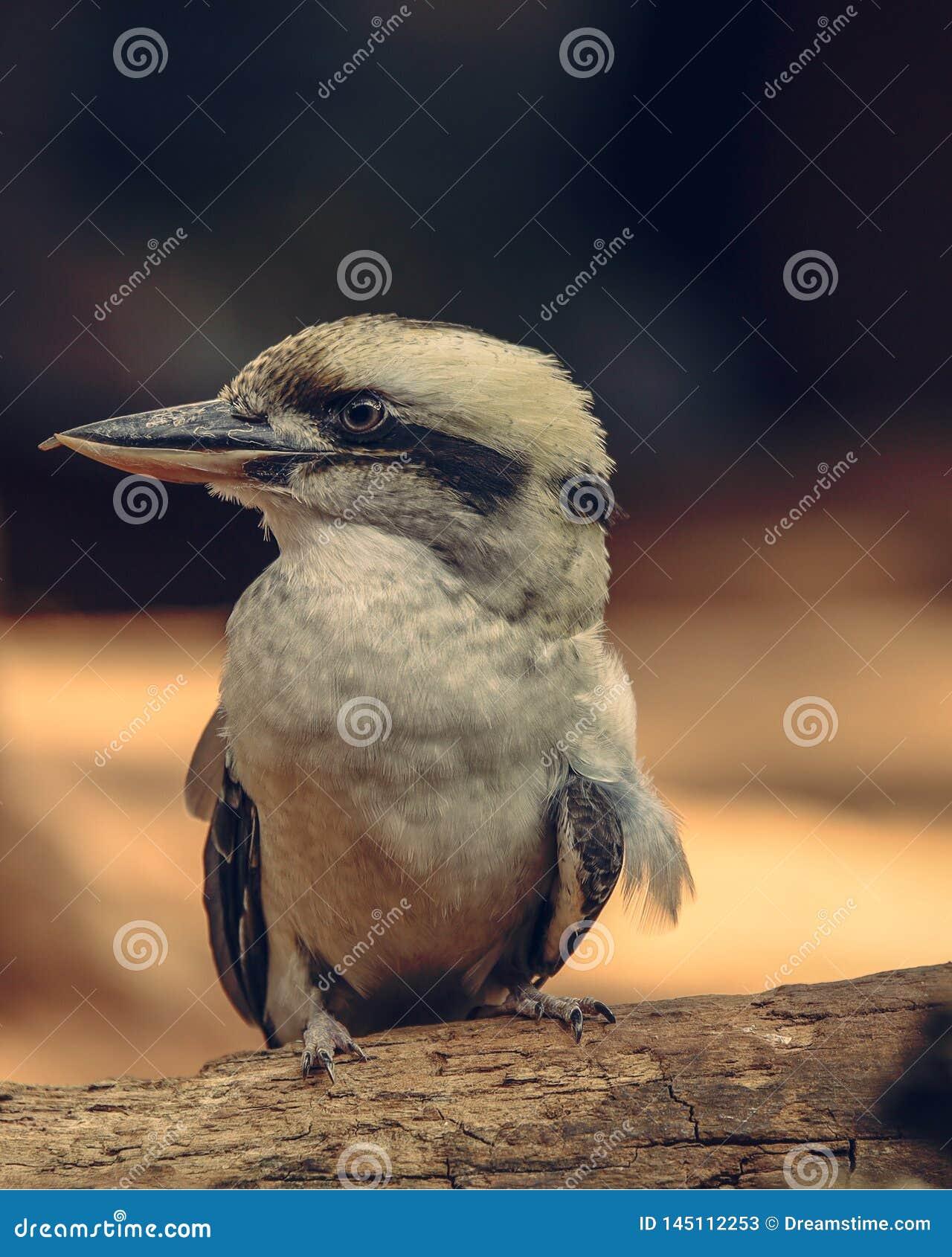 Австралиец Kookaburra смотря что-то острый глаз