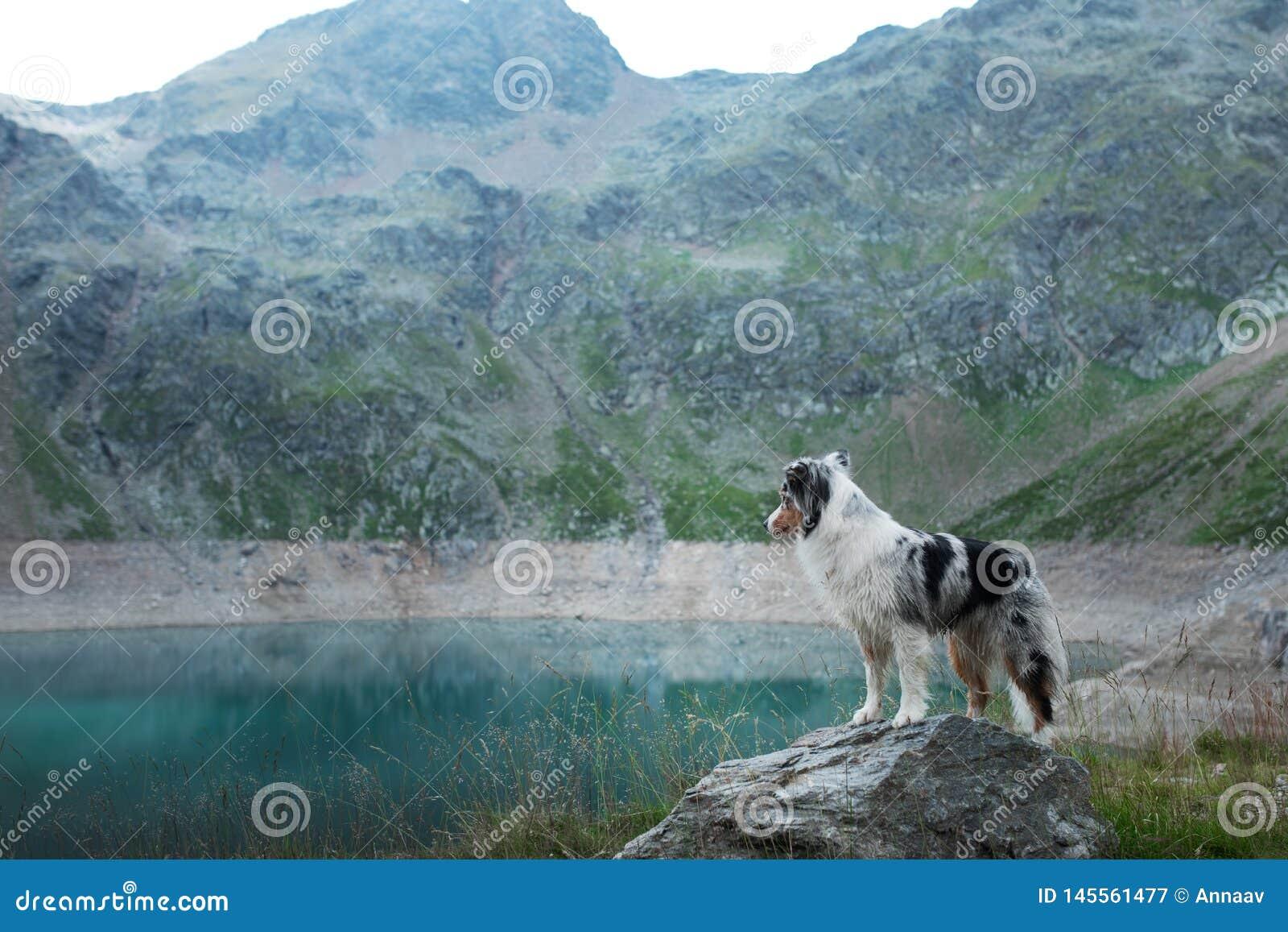 Австралийский чабан в природе озером Путешествовать с собакой в горах Приключение любимца