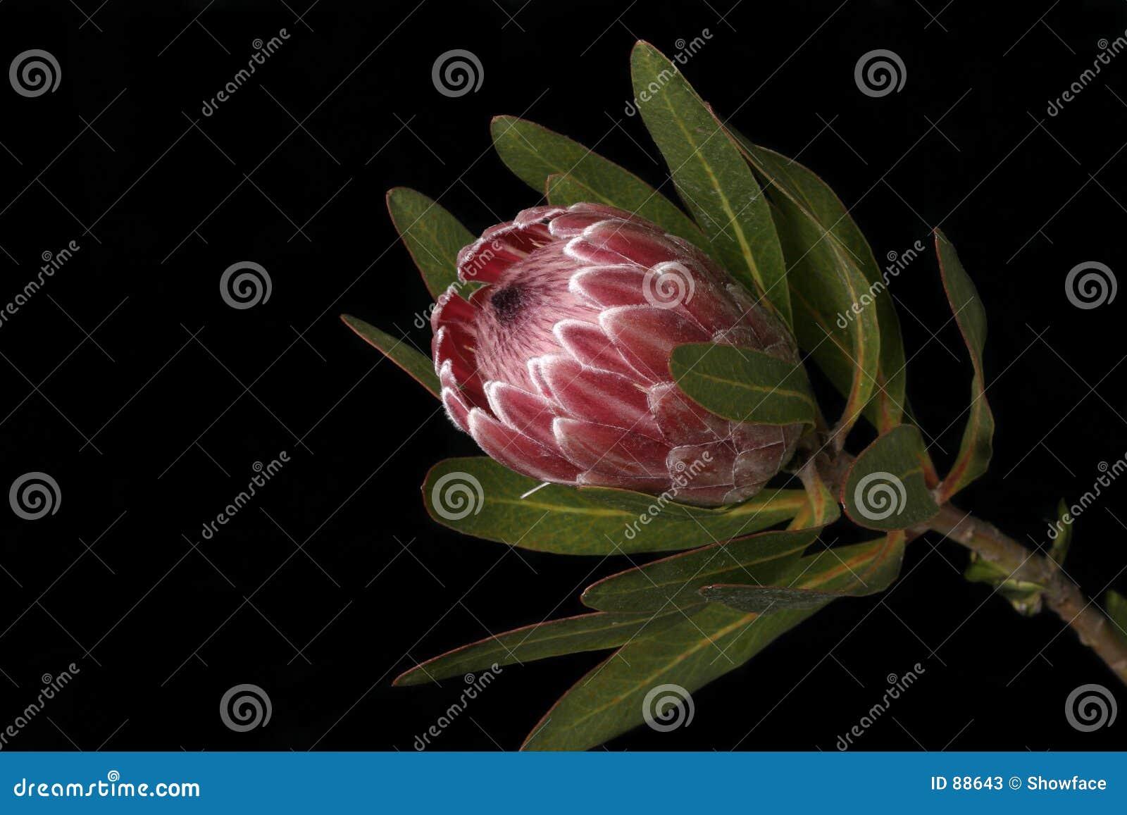 австралийский protea