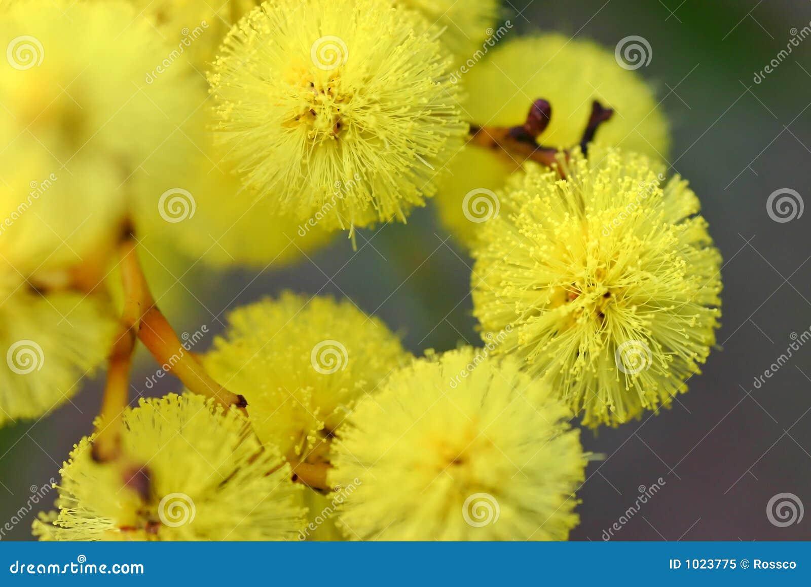 австралийский wattle цветка