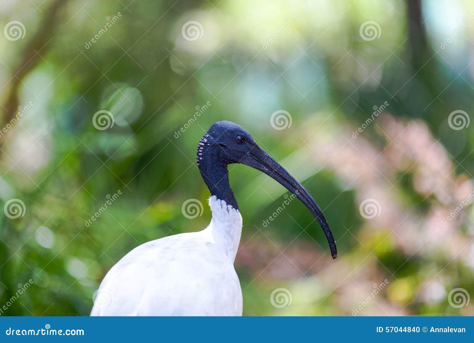 Австралийский белый Ibis против вегетации