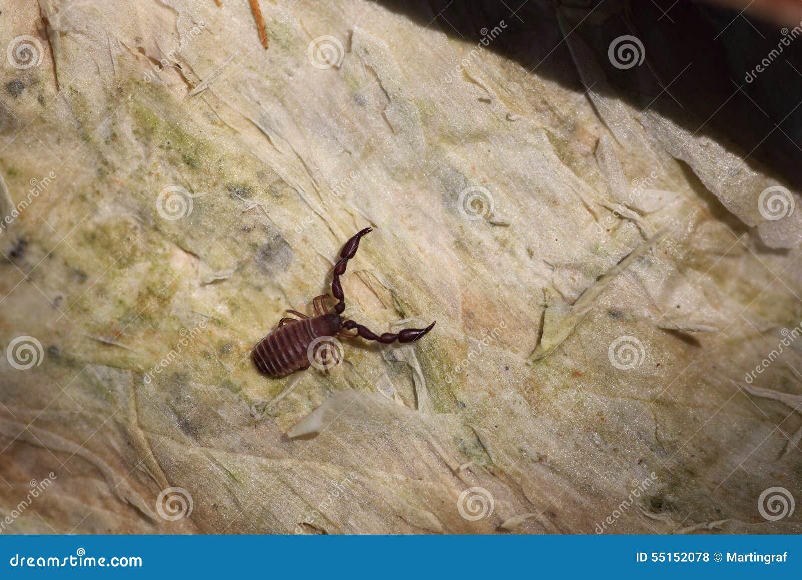 Австралийский скорпион