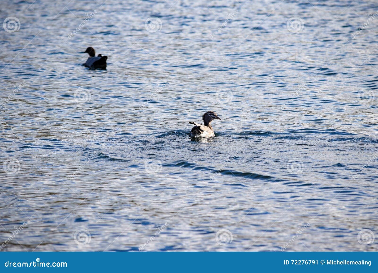 Download 2 австралийских деревянных утки плавая в озере Jindabyne Стоковое Изображение - изображение насчитывающей озеро, затишье: 72276791