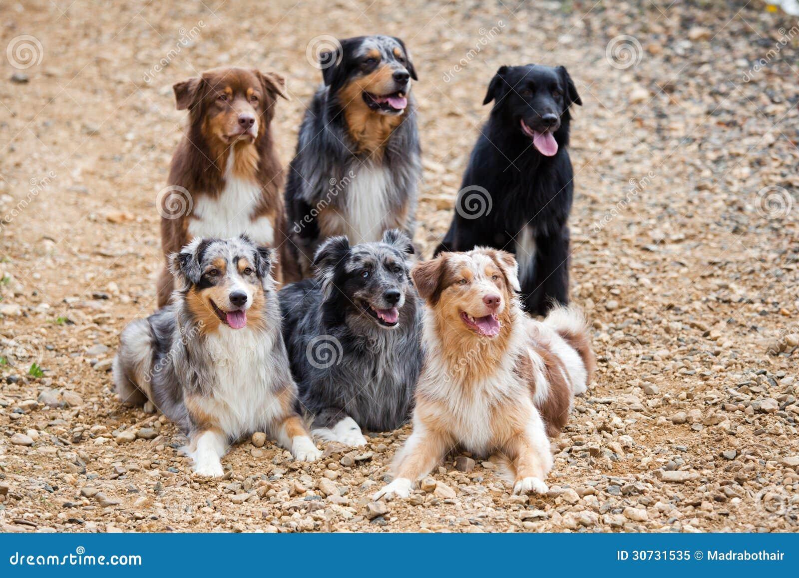 6 австралийских собак чабана