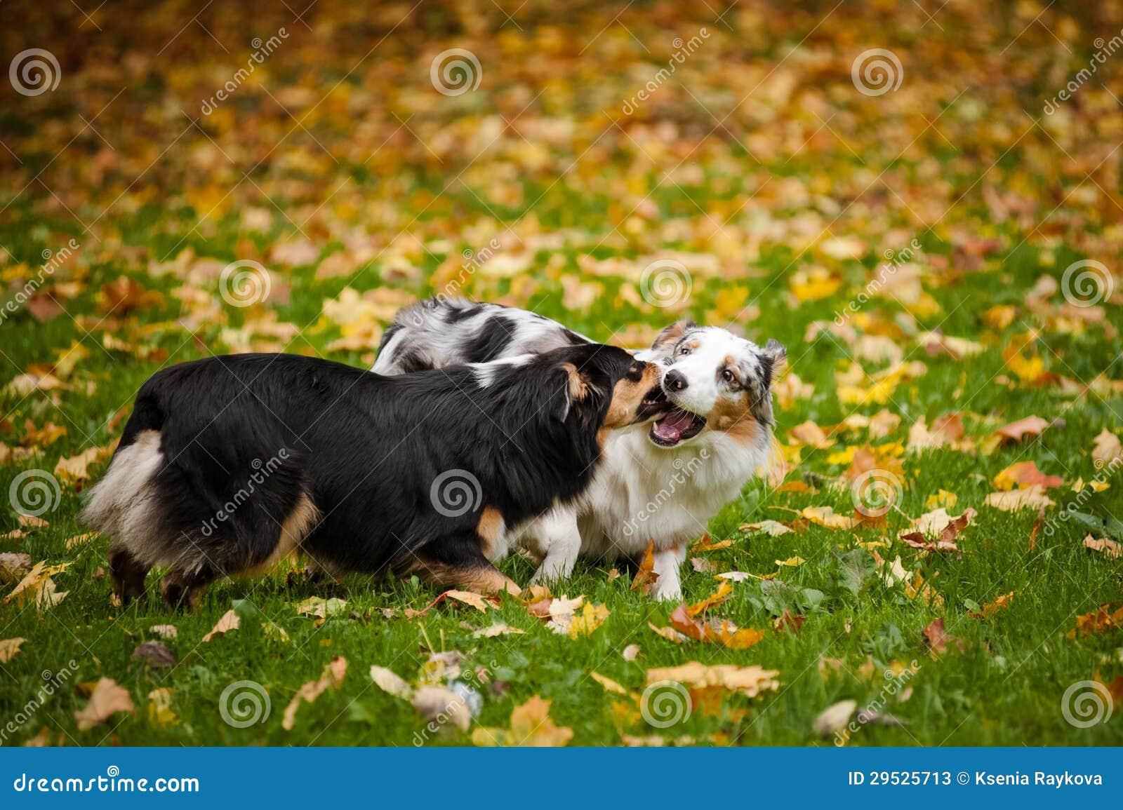 2 австралийских чабана играют совместно