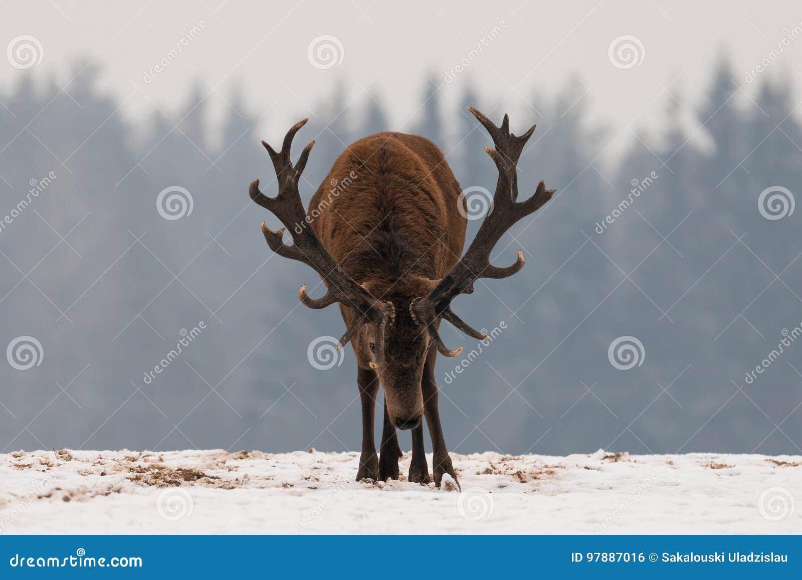 Агрессивные олени Олень головы вниз взрослый мощный красный с рожками трофея идет сразу к вам Атакуя крупный план рогача оленей Д