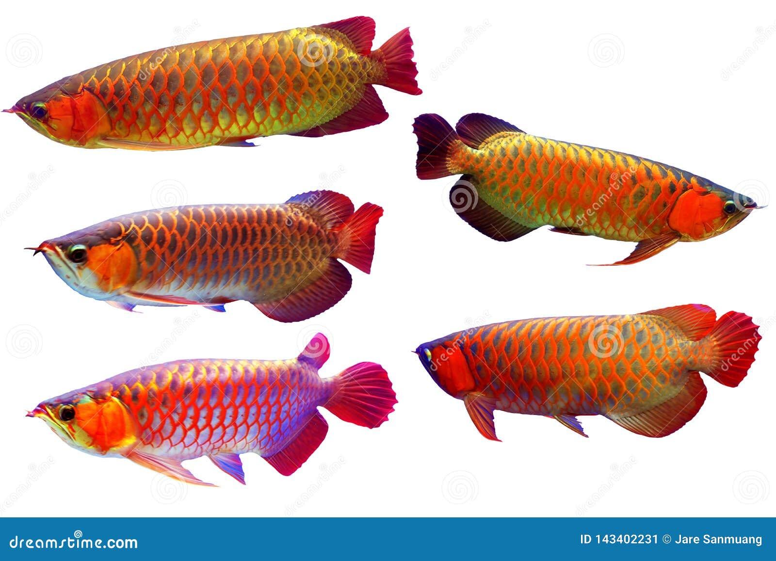 Азиатские рыбы arowana установили в белую предпосылку