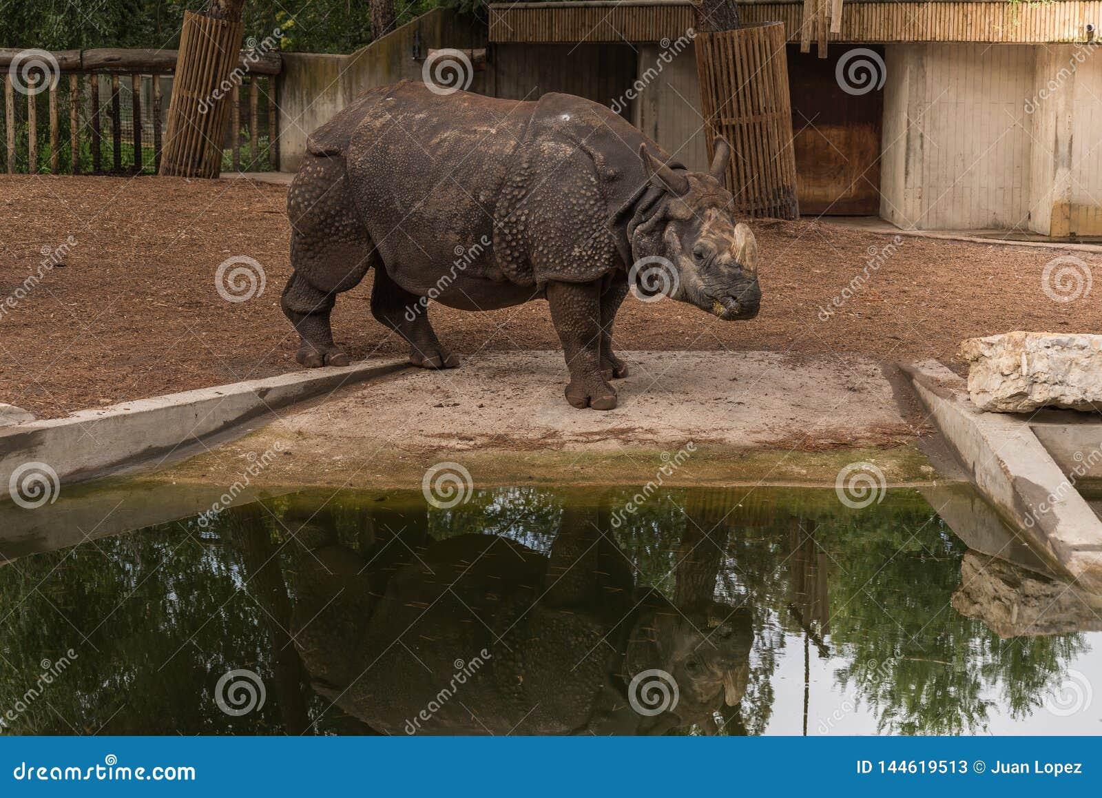 Азиатский носорог