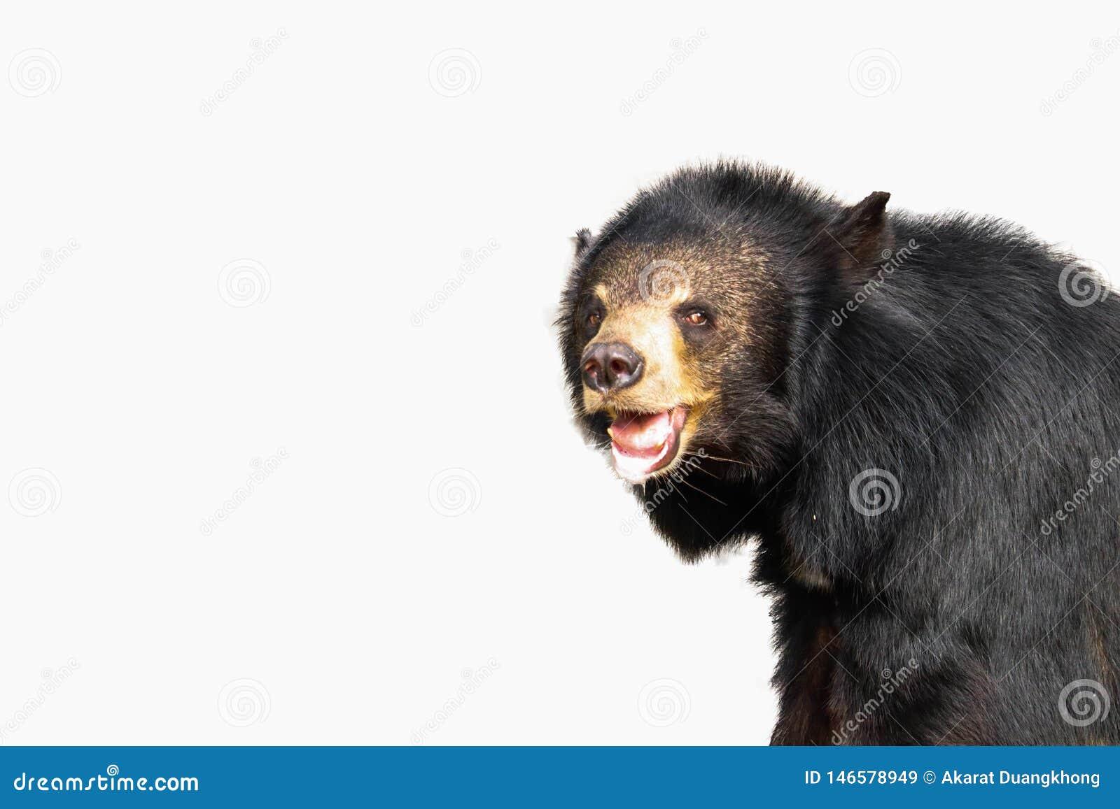 Азиатский черный изолированный медведь