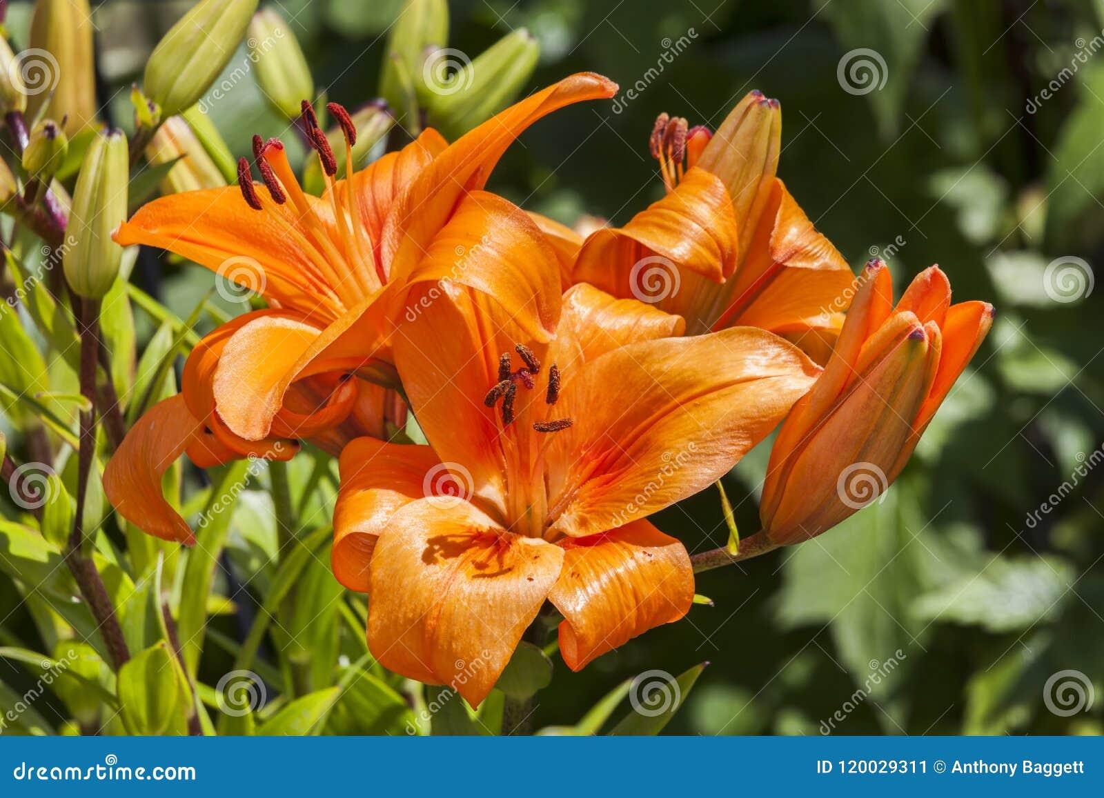 Азиатское ` очарования ` лилии